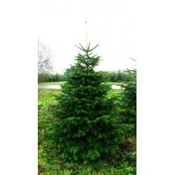 Juletræer fra 125cm - 600 cm